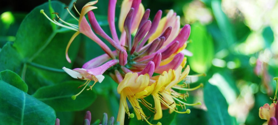 Honeysuckle flower essence: move out of the past
